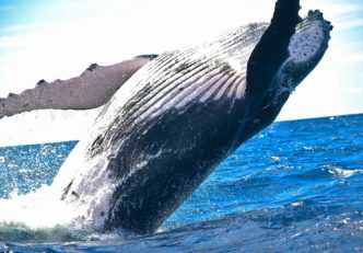 Az altok mozgolódnak, a bálnák felkészülnek az ugrásra